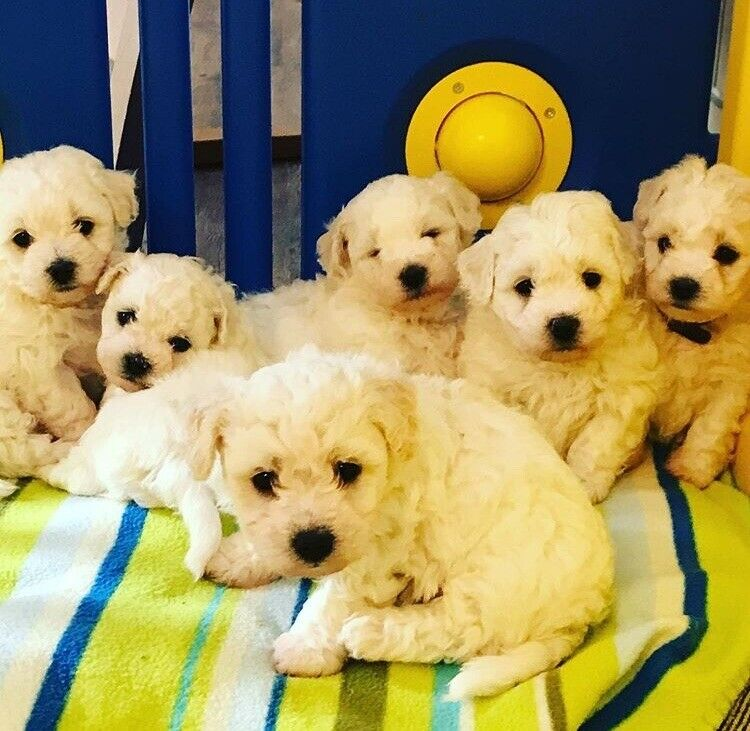 ADORABLE BICHON FRISE Puppies FOR SALE | in Wigton, Cumbria | Gumtree