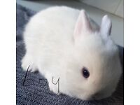 Pure Netherland dwarf baby rabbits