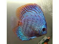 Red turk discus fish