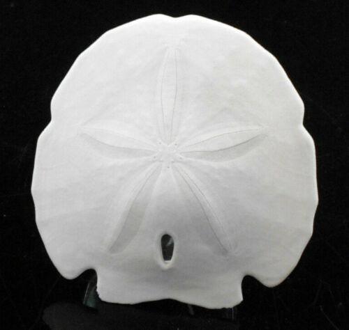 "1 Large White Arrowhead Sand Dollars 4""-5"" (101-127mm) Beach Wedding Shell Craft"