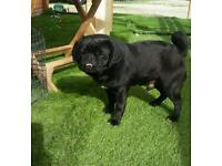 Pug cross french bulldog