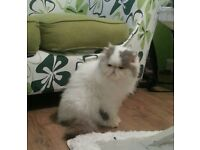 3 years old persian male for sale