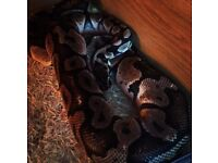 Royal python with complete set up