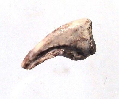 Permian Synapsid Claw   Pelycosaur   Ryan Formation  Texas Fossil