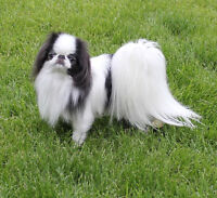 Japanese Chin ( Small Toy Breed) retired show dogs.