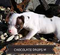 ALAPAHA/GREATER BLUEBLOOD BULLDOG PUPPIES