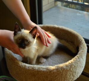 Sweet Siamese kitten for rehoming