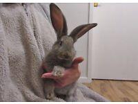 Baby continental giant buck rabbit