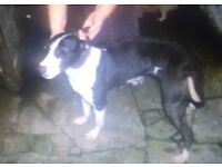 Whippet, bull, greyhound for sale