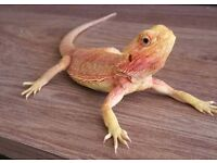 Super red female bearded dragon