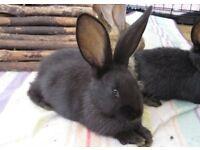 Black Baby Continental x British Giant rabbit