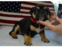 Bulldog pup for sale 8 weeks old ready to leave
