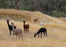 Pregnant Female Alpacas for Sale *** MAY SPECIALS*** Mount Barker Area Preview