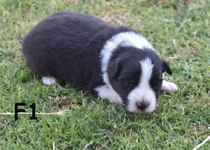 Border Collie Puppies Albany Albany Area Preview