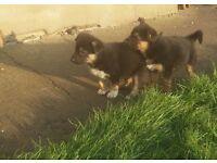 German Shepherd X Collie Pups x7.