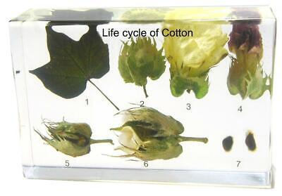 Life Cycle of Cotton plant  resin paperweight Collection Specimen](Life Cycle Of Plants)