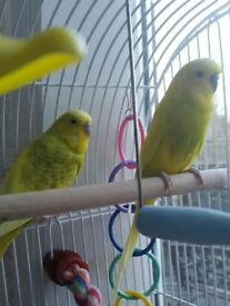 Two semi tame male budgies