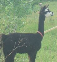 Lovely Llama for herd protection