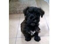 Stunning Mini Wauzer puppies!!! Only 2 boys left!