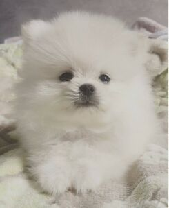 5 Months old white pomeranian princess for sale