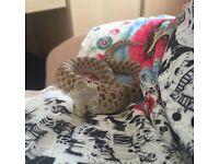 Hognose snake (male) 2 yo and all equipment