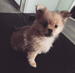 Pomeranian Puppy ! For a Perfect Christmas Gift !!
