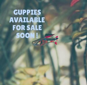 GUPPIES AVAILABLE FOR SALE