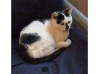 Black & White cat found N15 injured paw