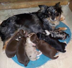 Purebred LONGCOAT CHIHUAHUA Puppies!