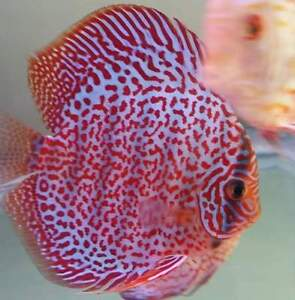 Beautiful discus fish on sale now! Website for photos!