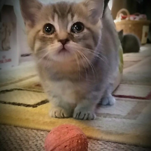 ADORABLE Tabby Polydactyl MUNCHKIN kittens available