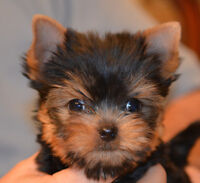 Yorkshire Terrier enregistré au Club Canin Canadien