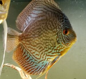 5 Large Discus Available 2 are 6-7 inch $125 each and 3 are 5-6