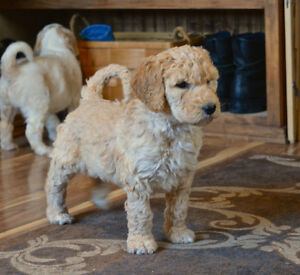 F1B Bernedoodle puppies just in time for Xmas Belleville Belleville Area image 5