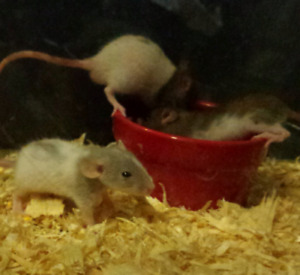 FEMALE BABY RATS