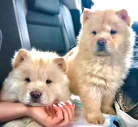 Chow chow choc gene on 4 generation papers