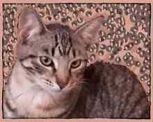 SALE: MANX  older KITTENS South Tamworth Tamworth City Preview