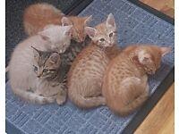 Beautiful fun loving kittens for sale 9 weeks old. 2 female, 1 Male, weaned, litter trained.