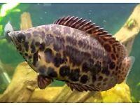 Leopard Bush Fish