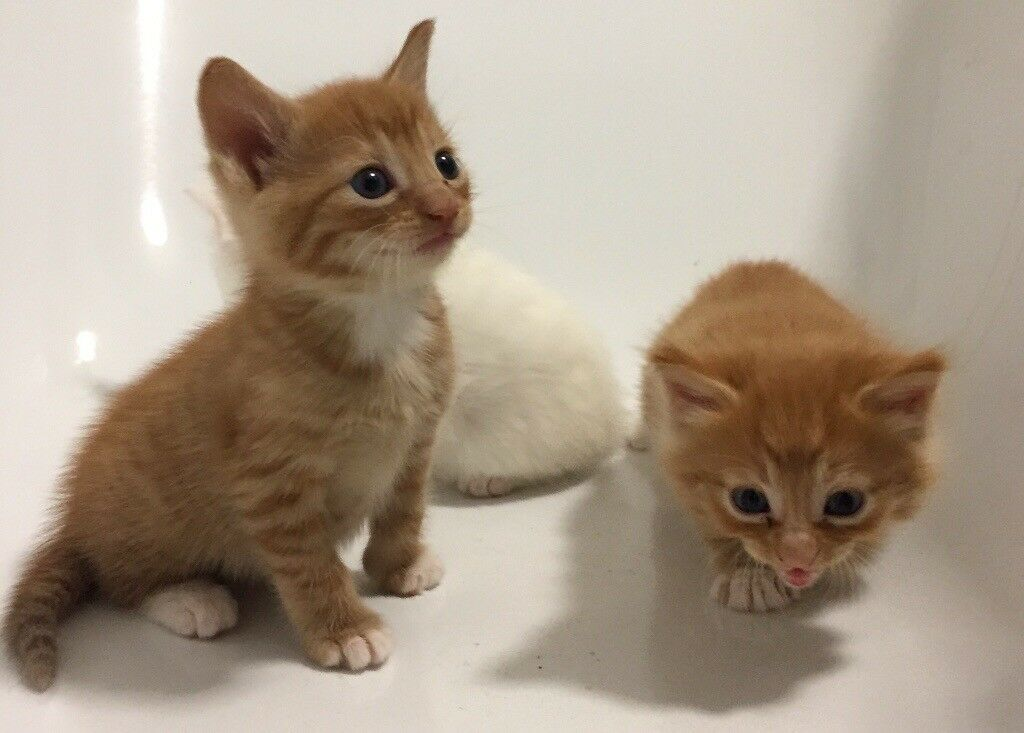 Blue Kittens For Sale : Half russian blue kittens for sale in grays essex gumtree