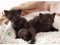 Gorgeous Black Male Kittens - Ready 26.10.17
