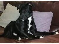 Staffy x Boxer puppy 6 months old