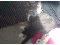 Grey tabby male kitten