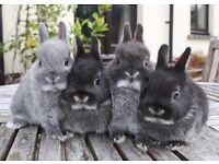 Pure bred cute baby Netherland Dwarf rabbits