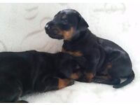 Beautifully Bred Doberman Puppies ALL RESERVED