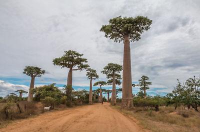 Baobab Tree Seeds Grow your Own Rare Tropical Adansonia digitata Baobab Tree Seeds