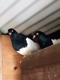 For sale; German tumbler magpie pigeons