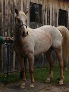 7 year old appy mare