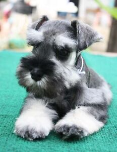 looking to BUY miniature schnauzer puppy
