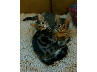 Beautiful two female bengal cross kittens - ready now